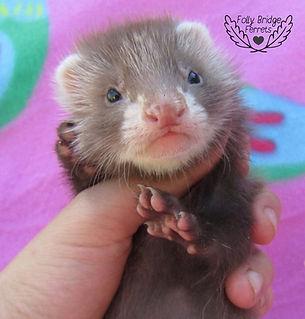 baby angora ferret, angora ferret kit