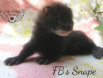 baby angora ferret