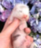 silver baby ferret