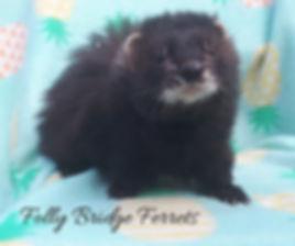 black solid ferret, angora ferret