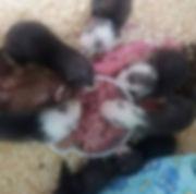raw feeding ferrets