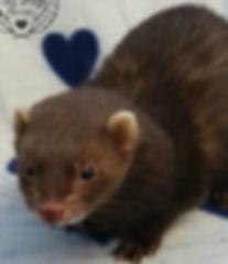 chocolate ferret, red ferret