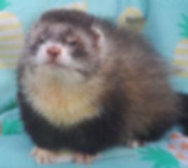 angora ferret, mitted ferret