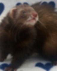 chocolate angora ferret