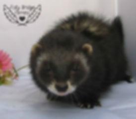 black ferret breeder, Niffler