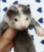 blaze ferret baby