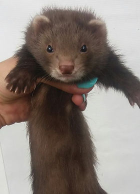 chocolate solid ferret