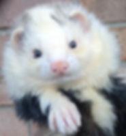 panda ferret
