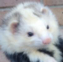 blaze ferret, unusual ferret