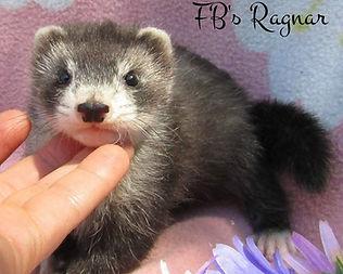 dark silver ferret