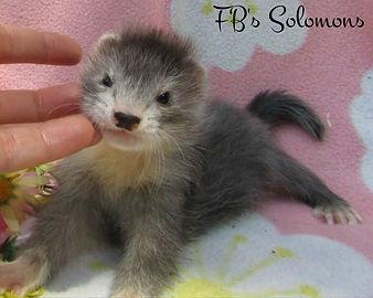 baby ferret angora