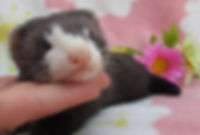 milkmouth ferret