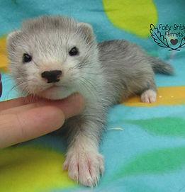 silver ferret, baby ferret,