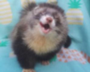 angora ferret, angora ferret breeder