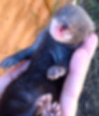 black baby ferret