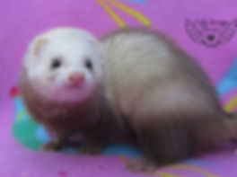 mini ferret, micro ferret