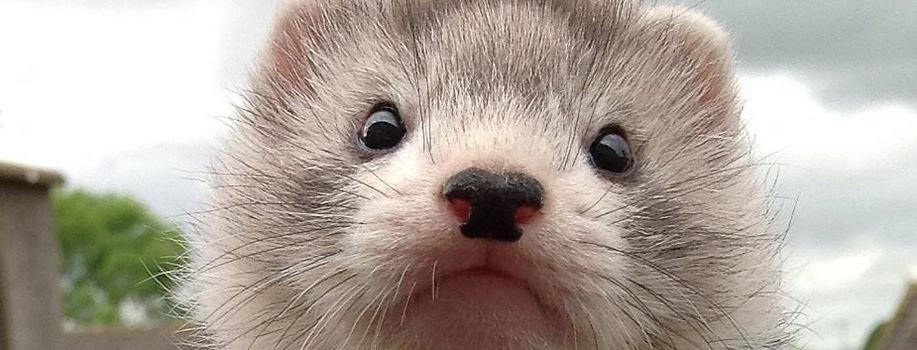silver angora ferret