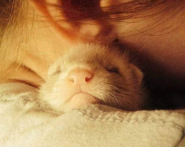baby ferret cuddle