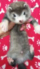 silver ferret kit