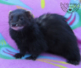 solid black ferret, dark ferret