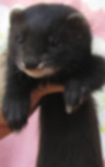 black solid ferret