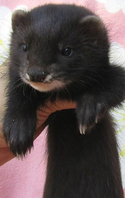 black solid ferret