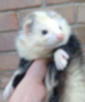 rare ferret