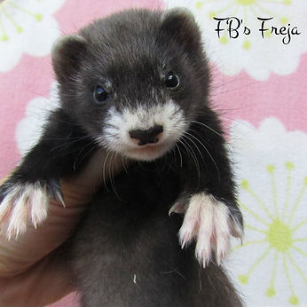 black mitt ferret