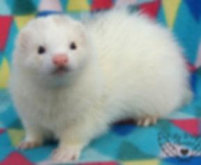 fairoak ferrets, white ferret