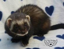 black ferret