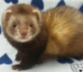 chocolate ferret, angora ferret