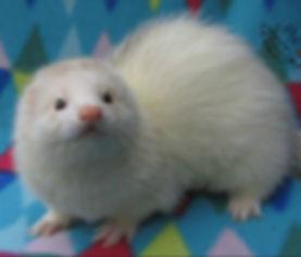 fairoak ferretry, silver ferret, snow ferret