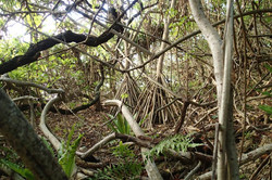 forest of Henderson island