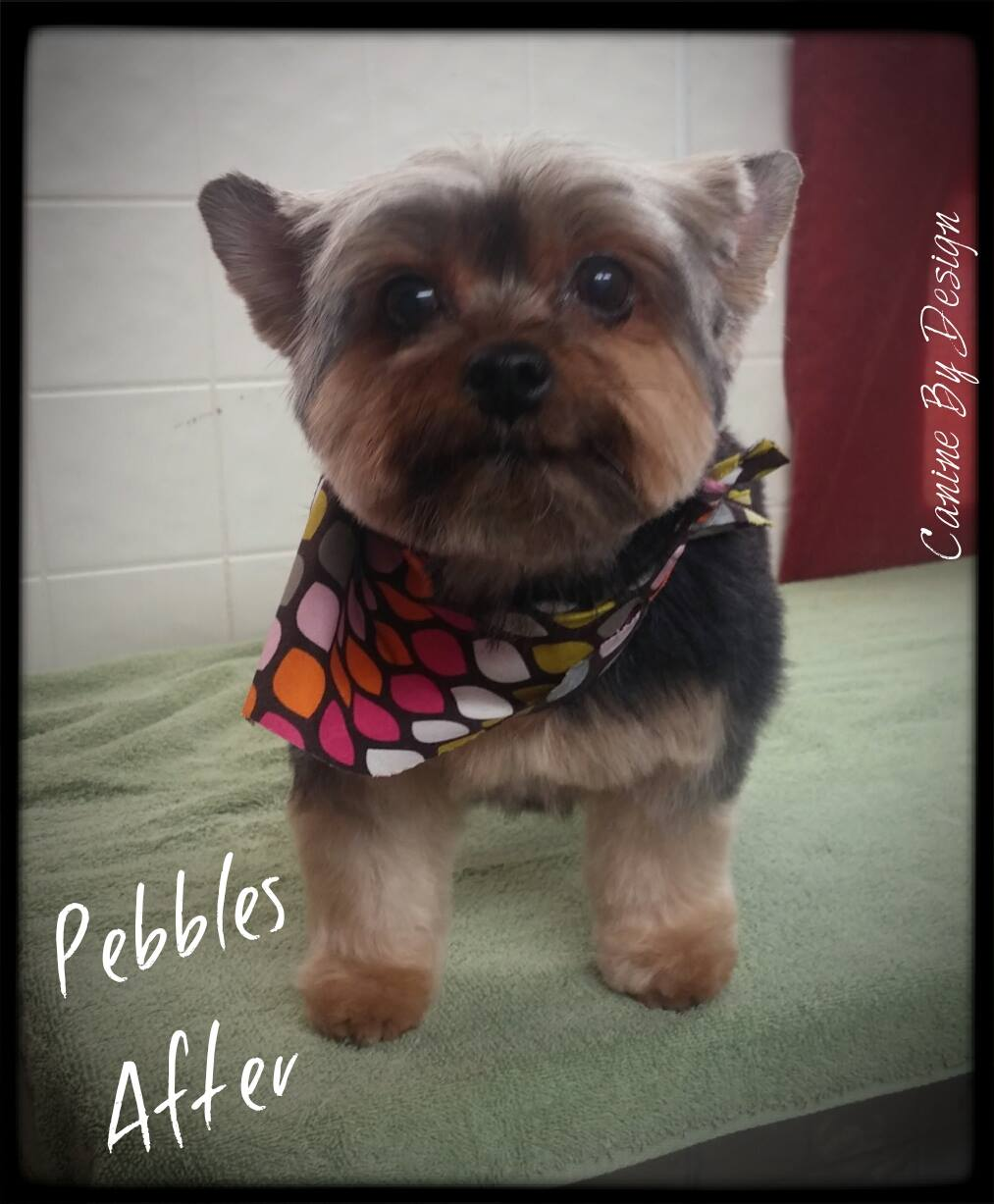 yorkie after