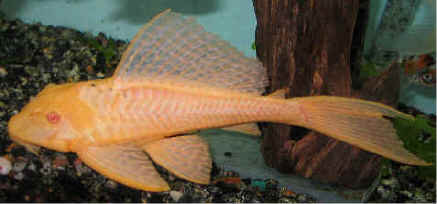 Hypostomus Plecostomus gold