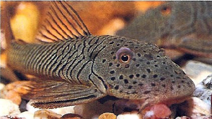 Hypostomus sp. L119