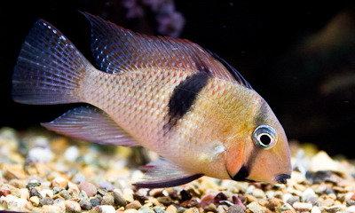 Guianacara sp.Surinam red Spot