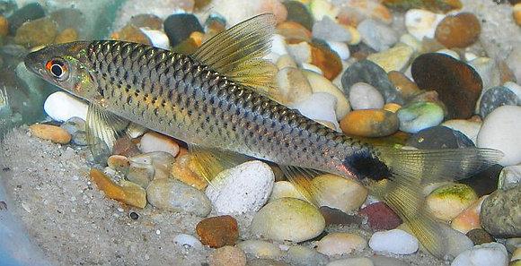 Crossocheilus Reticulatus