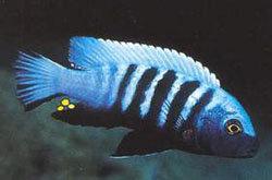 Pseudotropheus sp.Kingsizei