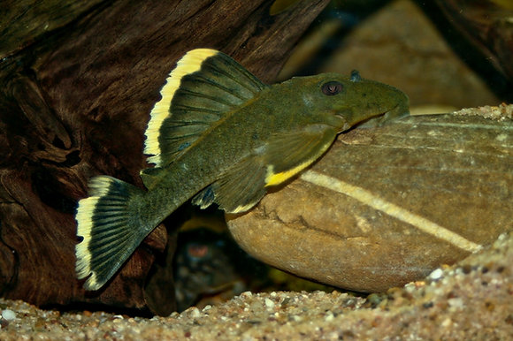 Baryancistrus Chysolomus L47