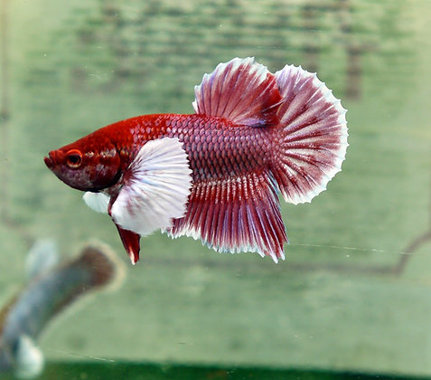 Betta Splendens elephant ear