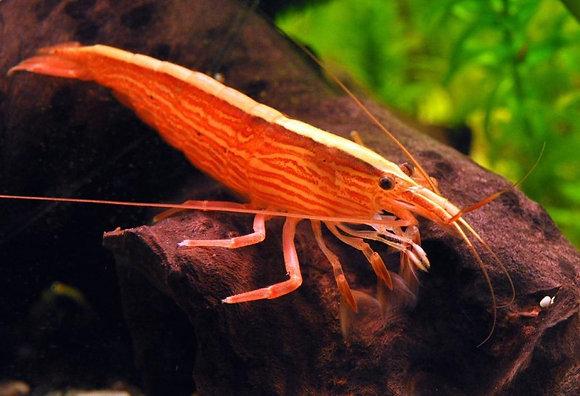 Atyopsis Molucensis