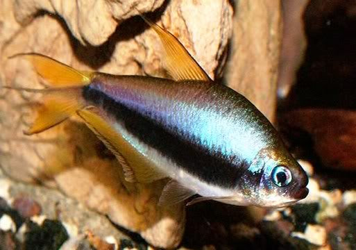 Nematobrycon Palmeri