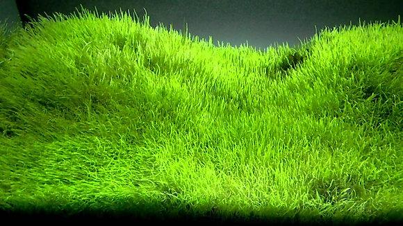 Ultricularia. ( 80 cc cup )