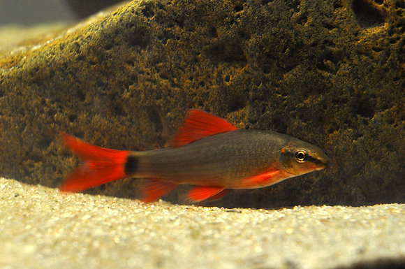 Epalzeorhynchus Frenatus ( Labeo )