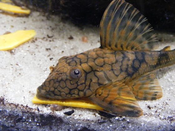 Hypostomus Flaveolus L37
