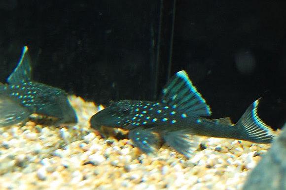 Hemiancistrus Sp. L128