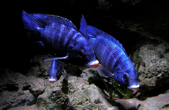 Placidochromis Phenochilus White lips