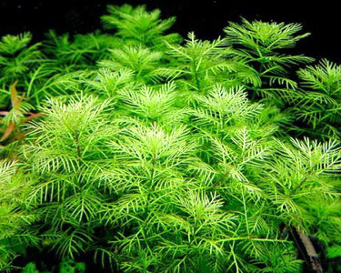 Myriophyllum Propinquum