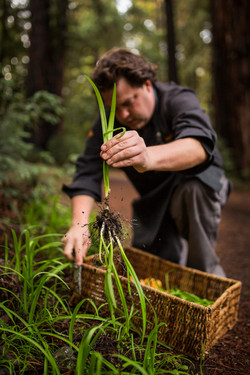 Foraging Wild Onions